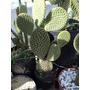 Opuntia Microdasys - Cactus En Maceta De Cultivo