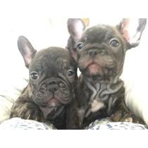 Cachorros Bulldog Frances Machos