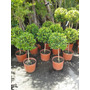 Eugenia Myrtipholia Arbolito - Topiario (1/2 Pie) Envíos