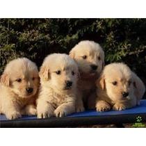 Filhotes De Golden Retriever - Puros Com Garantia! Mg
