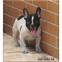 Bulldog Frances Macho, Blue Gen E Choco Gen Pedigree Cbkc...