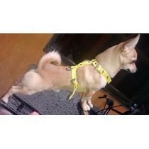 Hermoso Chihuahua Macho Para Monta