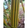 Bambu Vittata