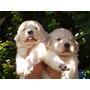 Los Mejores Cachorritos Golden Retrievers Con Papeles Fca