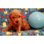 Ultimo Y Lindo Cachorrito French Poodle Rojo Apricot Minitoy