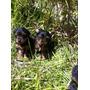 Yorkie Yorky Yorkshire Terrier Super Mini Manto Plata Vendo