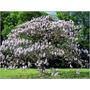 50 Sementes Kiri Paulownia Tomentosa Princess Tree P/ Mudas