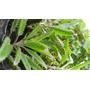 Kalanchoe Diagremontiana.aranto. Suculenta Ornamedicinal-