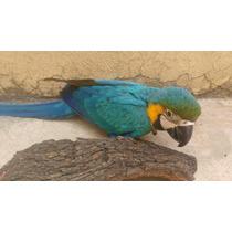 Guacamaya Azul Y Oro Papillera