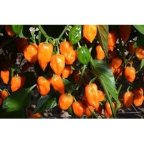 20 Semillas Habanero Naranja Picante Huerto Maceta Jardines