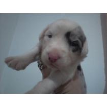 Filhote Sheepdog Fêmea