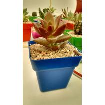 Cactus Y Suculentas Combo X 30 Souvenirs Oferta Fin De Año !