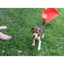 Beagle Tricolor Hembra