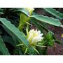Muda Pitaya Organica Verm Polpa Branca Ou Vermelha Sem Raiz