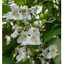 200 Semillas De Catalpa Bignoides (catalpa)