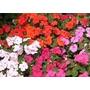 Flores X 20 Alegrias Vincas Copetes Consulte Stock Vivero