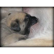 Cachorros Mastin Inglés (mastiff) Fca Excelente Sangre !!!