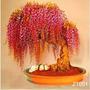 10 Sementes De Bonsai Raro De Lindas Flores Ouro Glicínias*