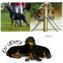 Queda Un Cachorro Doberman Con Pedigree