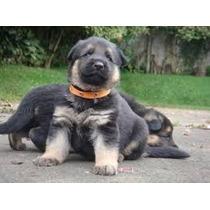 Cachorros Pastor Aleman Aptos Para Registro