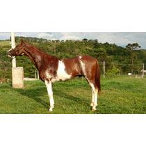 Cavalo Mangalarga Paulista - Curioso Jes - Registrado