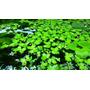 Spirodela Polyrhiza Planta Acuario Parecida Lenteja De Agua
