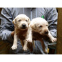 Cachorros Labrador Hueso