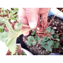 Plantas De Fresa Cantidad De 30 Promoción 3*2