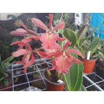 Orquidea Epidendrum Hibrido