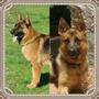 Cachorros Pastor Alemán Pedigree Próximos Nacimientos