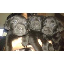 2 Labradoras Hermosas !! Dia Del Niño Regale Mascotas