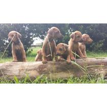 Filhotes De Leão Da Rodésia Rhodesian Ridgeback Mach/femeas