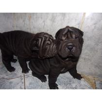 Cachorros Shar Pei H Negras Con Fca