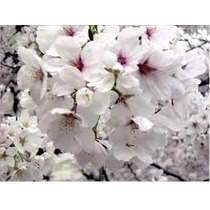 Sakura ( Cerezo Japones) Arbol Ornamental $ 540