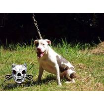 American Pit Bull Terrier Blue Linea 100% Usa Ukc En Mano