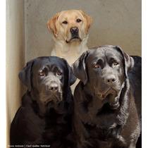 Filhotes De Labrador (com Pedrigree, São De Canil)