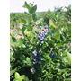 Arandanos Plantas - Cercos Frutales - Organicos