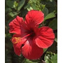Rosa China Roja Simple Despacho Y Embalaje Gratis