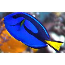 Peixe Marinho Blue Tang Hepatus Dori - Pq/médio - Promoção!