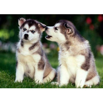 Filhotes Husky Siberiano E Seu Olhar Fascinante!