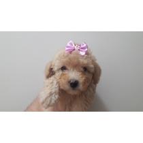 Filhotes De Poodle Micro Toy E Toy Preço Especial