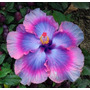 Semillas De Hibiscus Hibisco Exótico Violeta Eléctrico Rosa