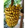 Muda Banana Ouro Rizoma Fotos Cada Uma 19,90 Escolha Quantid