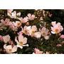 Rosas Rastreras Nozomi: Ideal Como Cubresuelo O Para Balcón.