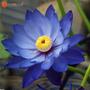 Semillas Flor De Loto Azul Brillante