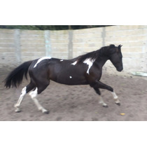 Cavalo / Égua Paint Horse Pais Importados Top