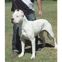 Dogo Argentino Con Pedigree