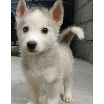 Cachorro Huskys Siberiano (3 Meses)