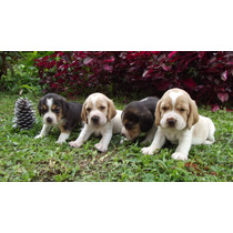 Lindos Beagle Filhotes Machinho .tricolor E Bicolor ..