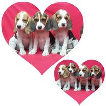 Beagles Tricolor Y Bicolor, Padres Con Pedigree Fcm